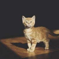 orange-kitty-cat