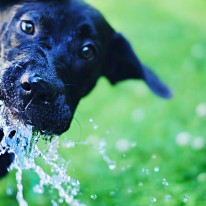 Black Lab Water Hose Photo