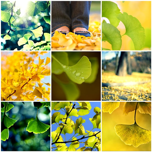 ginkgo picture