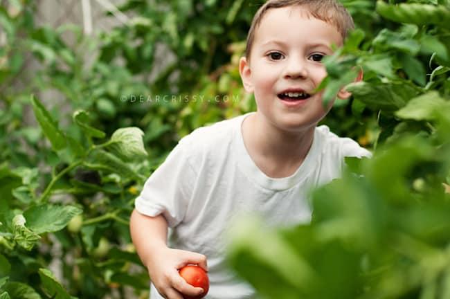 Tomato Picking