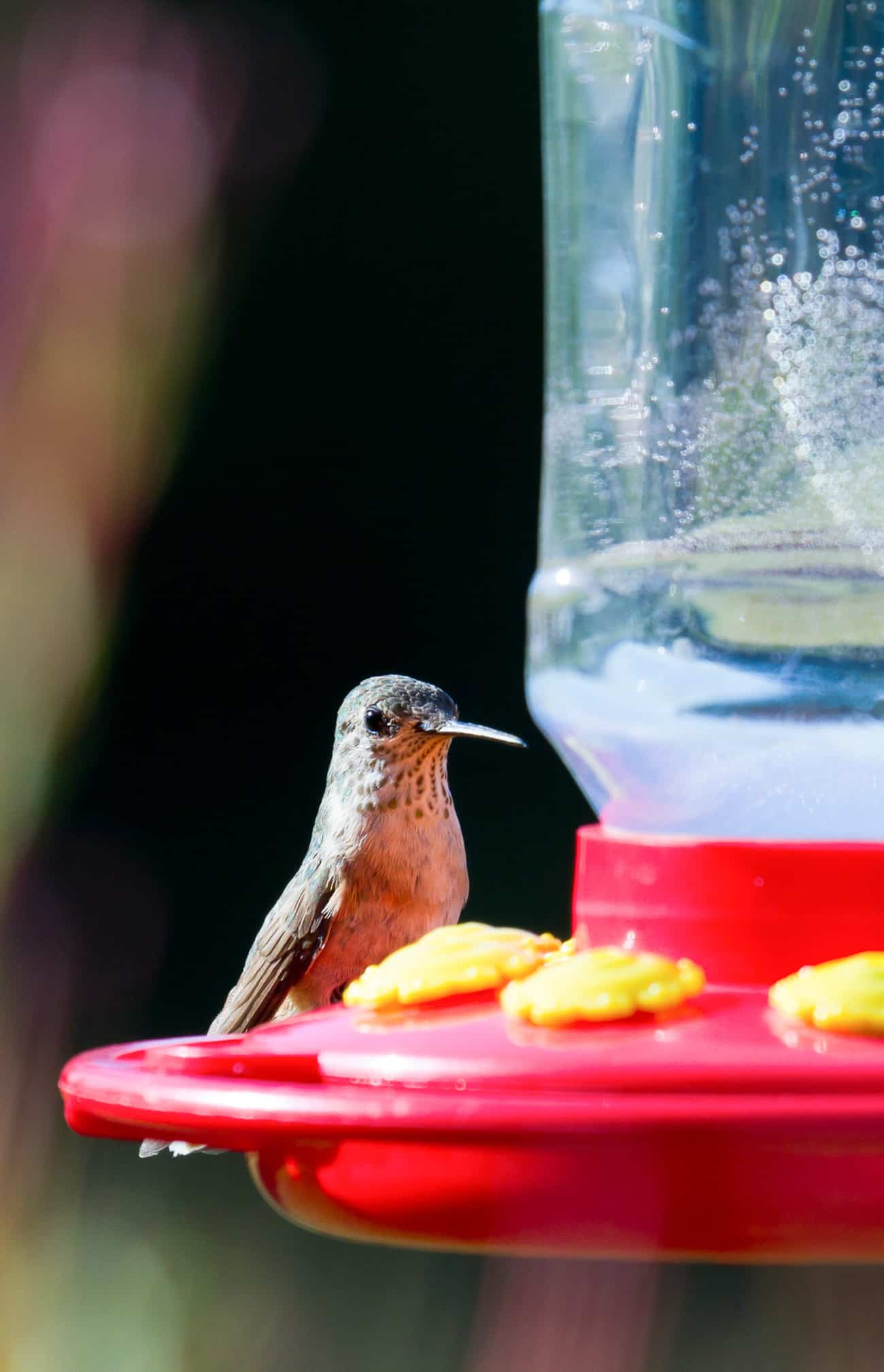 Hummingbird food recipe forumfinder Choice Image